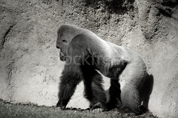 Gorilla walking, in black and white Stock photo © lunamarina
