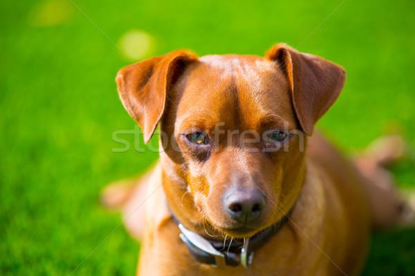 мини коричневая собака портрет газона коричневый Сток-фото © lunamarina