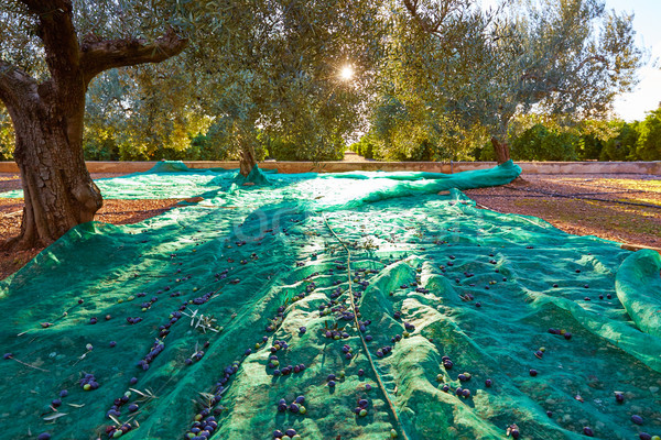 Olives harvest picking with net at Mediterranean Stock photo © lunamarina