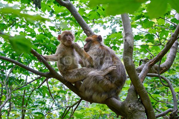 Majom majmok szabadtér fa erdő természet Stock fotó © lunamarina