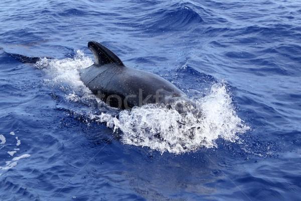 pilot whale free in open sea blue mediterranean Stock photo © lunamarina
