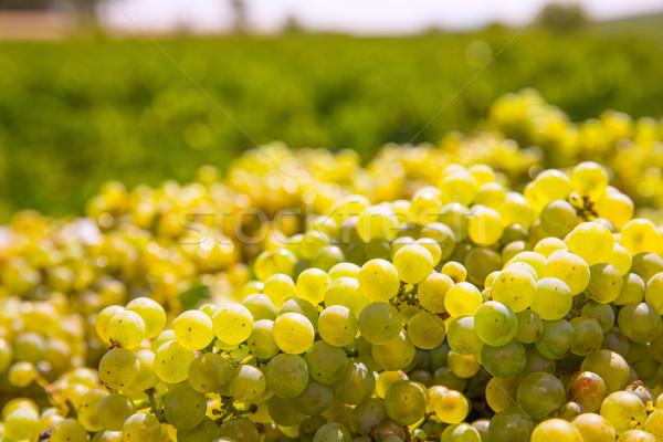 chardonnay harvesting with wine grapes harvest Stock photo © lunamarina
