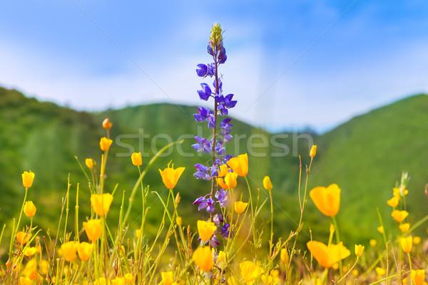 Poppy flowers yellow poppies in western California Stock photo © lunamarina
