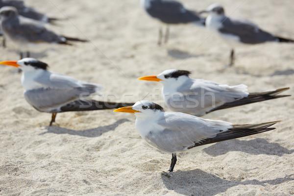 Királyi tenger madarak Miami Florida dél Stock fotó © lunamarina