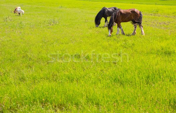 Horses in green yellow spring meadow Stock photo © lunamarina