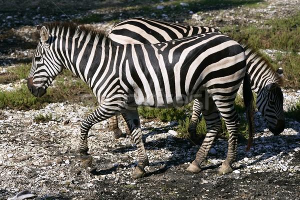 Gyönyörű afrikai zebra szabadtér csíkos bőr Stock fotó © lunamarina