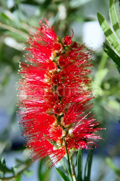 Callistemon viminalis red flower Weeping Bottlebrush  Stock photo © lunamarina