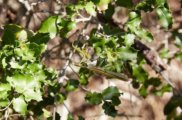 Praying mantis insect on green leaves Stock photo © lunamarina