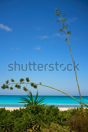 Agavé virág ahogy mediterrán díszlet szigetek Stock fotó © lunamarina