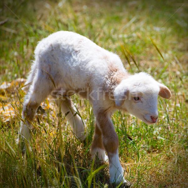 Bebé cordero recién nacido ovejas pie campo de hierba Foto stock © lunamarina