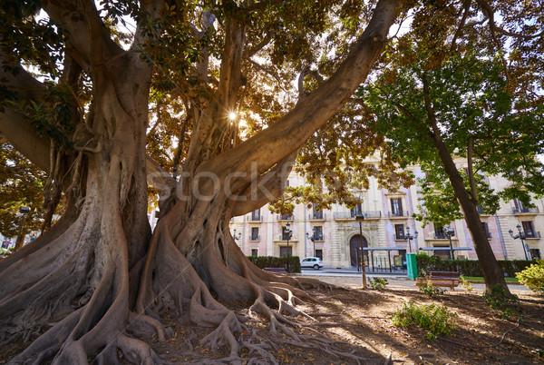 Valencia Glorieta park big ficus tree Spain Stock photo © lunamarina