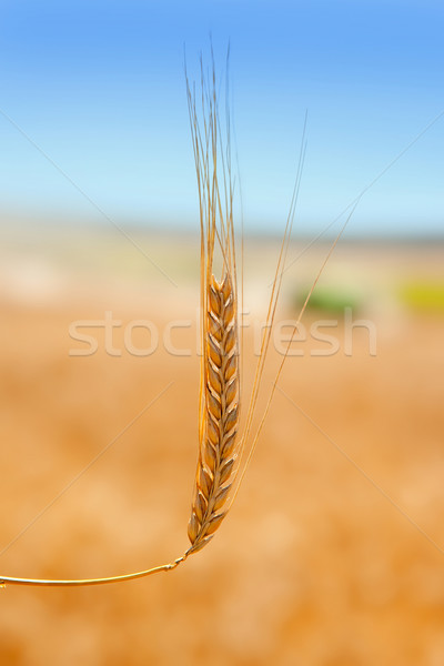 cereal spike in wheat golden field Stock photo © lunamarina