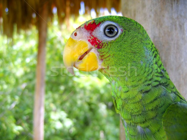 cotorra parrot green from Central America Stock photo © lunamarina