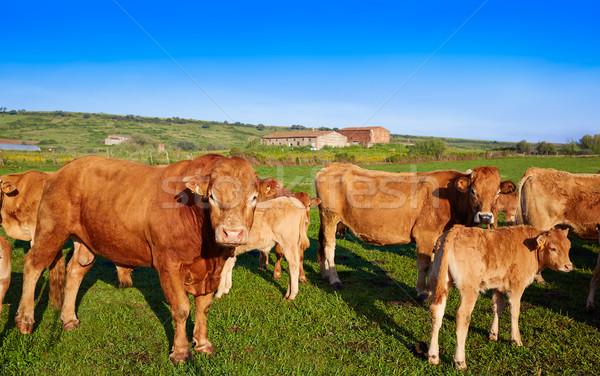 Cow cattle in Extremadura of Spain Stock photo © lunamarina