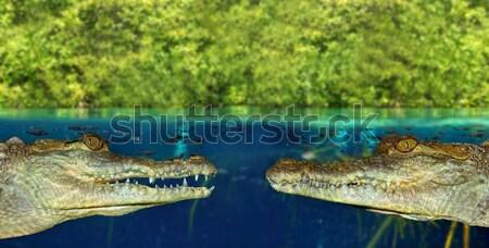 Krokodil yüzme bataklık yukarı aşağı manzara Stok fotoğraf © lunamarina