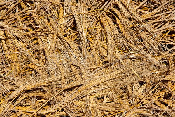 cereal wheat spikes pattern background Stock photo © lunamarina