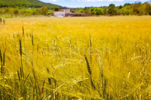Ibiza island golden wheat fields of mediterranean Stock photo © lunamarina