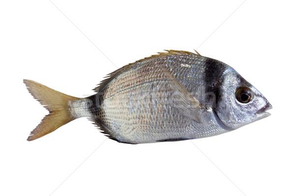 diplodus vulgaris fish two band bream Stock photo © lunamarina