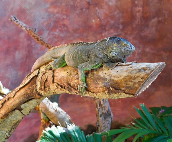 Mexicano iguana fundo árvores verão Foto stock © lunamarina