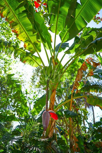 Banana árvore frutas flor México árvores Foto stock © lunamarina