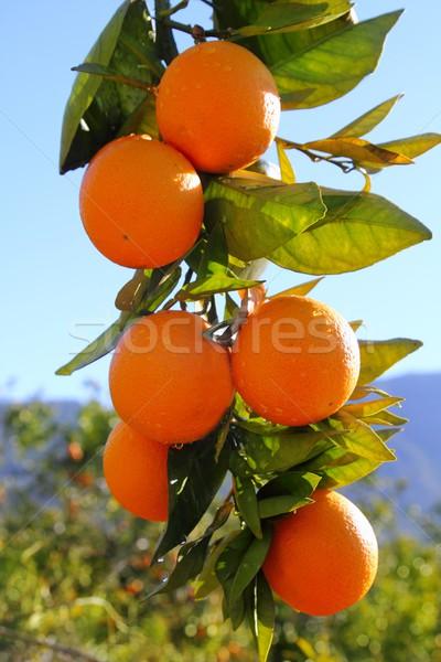 ág narancsfa gyümölcsök zöld levelek Spanyolország Valencia Stock fotó © lunamarina