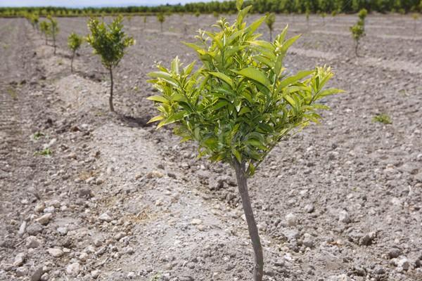 baby orange tree plantation field in Spain Stock photo © lunamarina