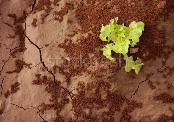 Lettuce green outbreak over red clay floor Stock photo © lunamarina