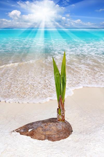 Boom spruit groeien tropisch strand groeiend Stockfoto © lunamarina