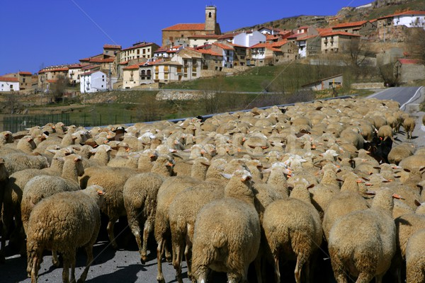 Stock photo: Lamb herd, sheep, gout flock Spanish village