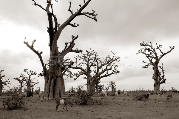 African Baobab tree on baobabs trees field on cloudy  day Stock photo © lunamarina
