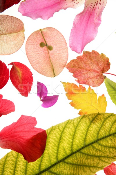 Color flowers, leaves, petals, isolated white background Stock photo © lunamarina