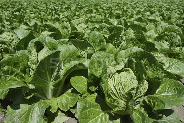 cabbage green vegetables field in spring farmland Stock photo © lunamarina