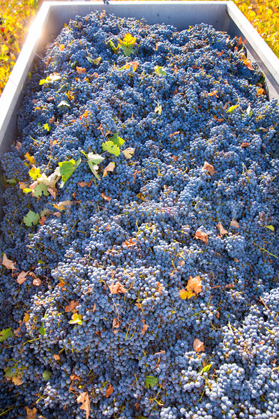 Mediterranean vineyard harvest   cabernet sauvignon grape field  Stock photo © lunamarina