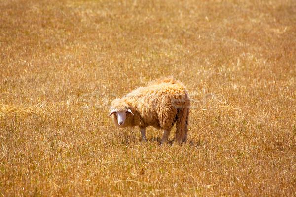 Ovelha dourado secas prado primavera comida Foto stock © lunamarina
