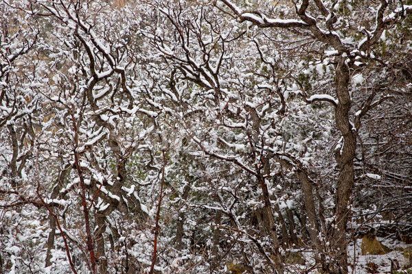 Nevada USA spring snow in the trees Stock photo © lunamarina
