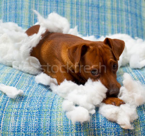 Zdjęcia stock: Niegrzeczny · szczeniak · psa · poduszkę