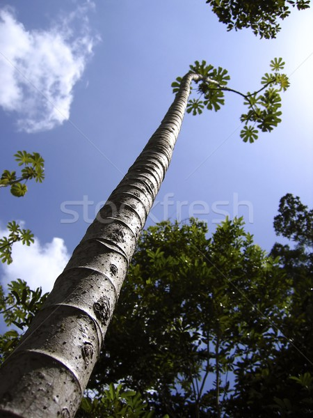 tall thin trunk central america trees perspective Stock photo © lunamarina