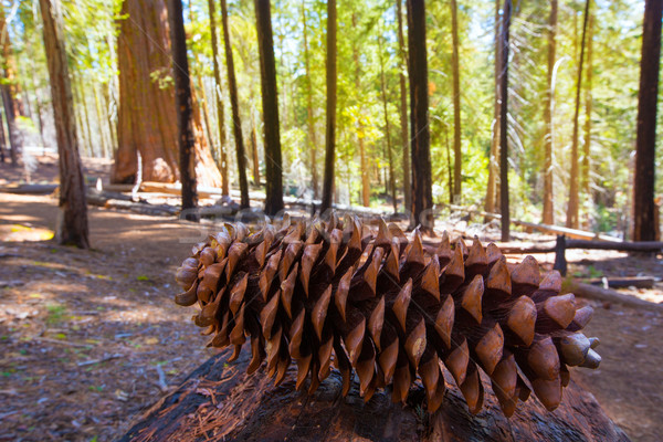 Sequoia pine cone macro in Yosemite Mariposa Grove Stock photo © lunamarina