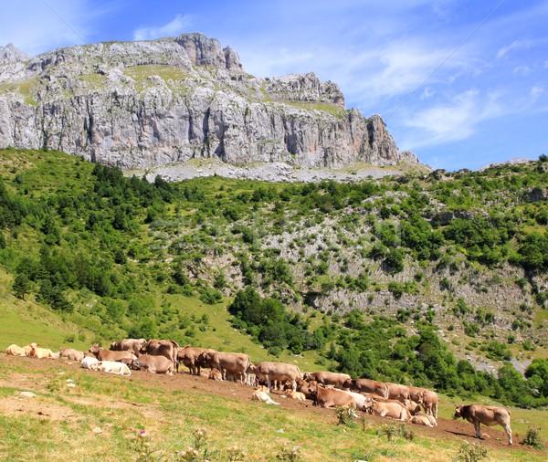 корова скота долины луговой природы Сток-фото © lunamarina