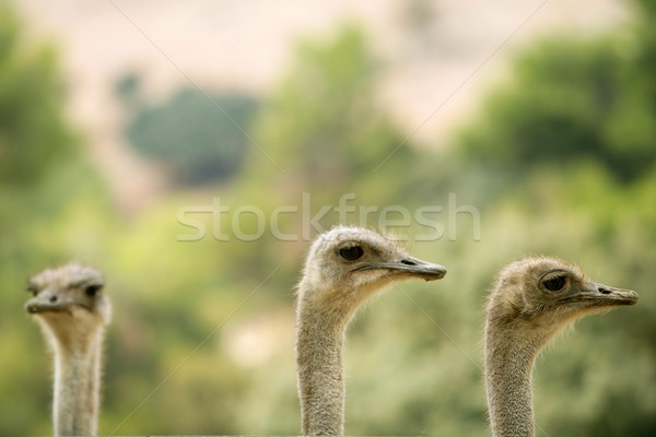 Ostrich portrait outdoor forest green trees Stock photo © lunamarina
