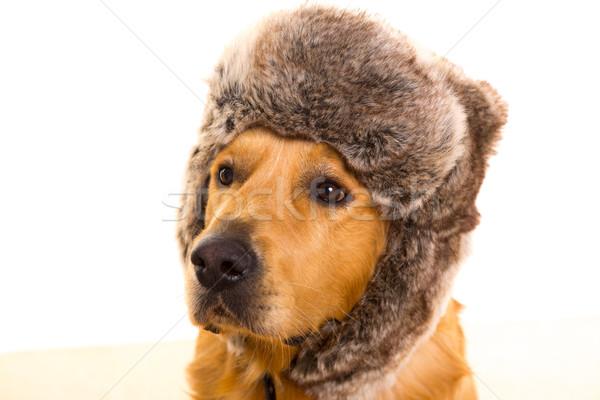 Retriever hond grappig winter bont cap Stockfoto © lunamarina