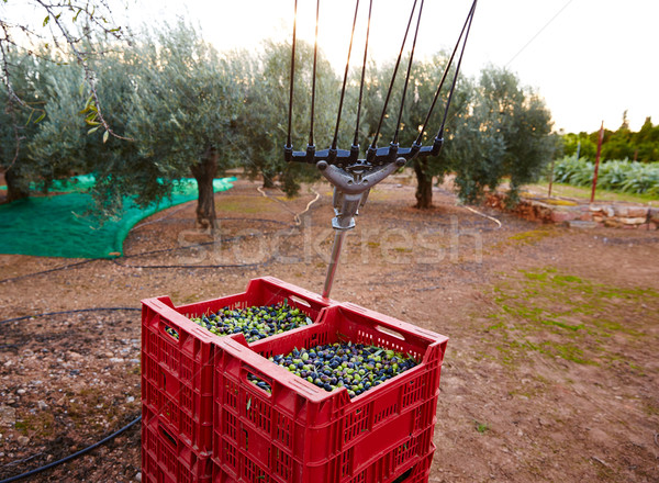 Olives harvest and picking vibration fork tool Stock photo © lunamarina