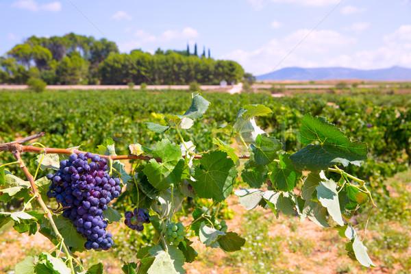 bobal wine grapes ready for harvest in Mediterranean Stock photo © lunamarina