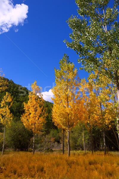 Autumn fall forest with yellow golden poplar trees  Stock photo © lunamarina