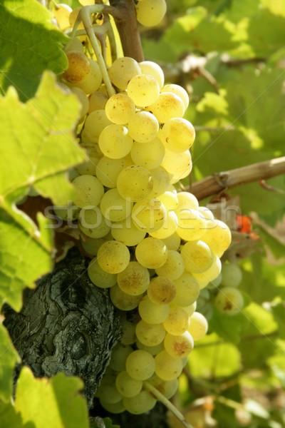 Сток-фото: желтый · грейпфрут · виноградник · полях · Испания
