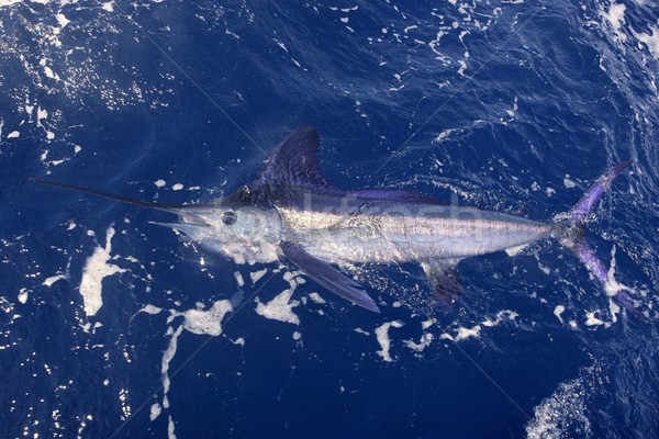 Beautiful white marlin real billfish sport fishing Stock photo © lunamarina