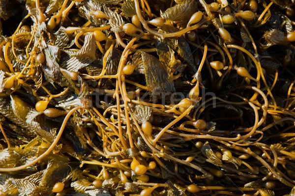 California Pacific seaweed Giant kelp Macrocystic pyrifera Stock photo © lunamarina