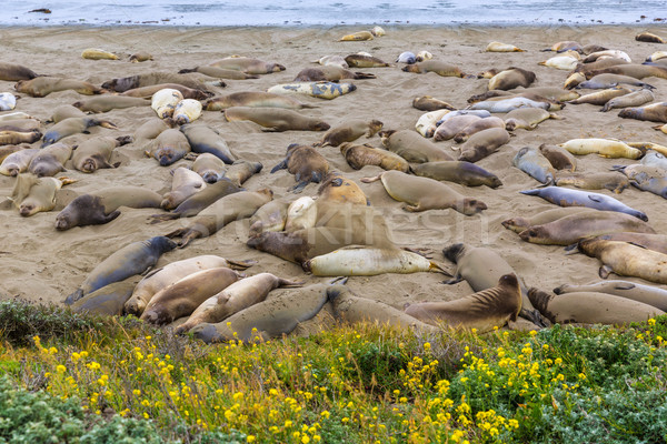 California Elephant Seals in Piedras Blancas point Big Sur Stock photo © lunamarina