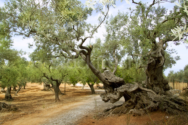 centennial olive trees from Mediterranean Mallorca Stock photo © lunamarina