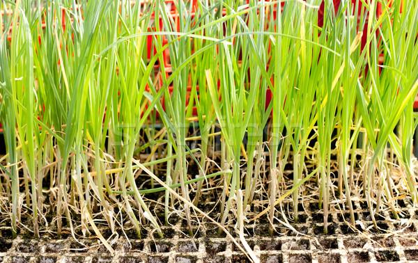 Fokhagyma hagyma növények előkészített ültet mező Stock fotó © lunamarina